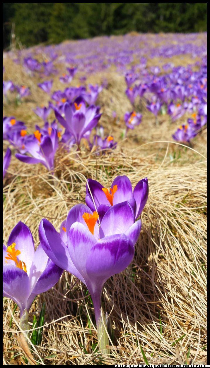 Krokusy Tatry Plants Image Crocus
