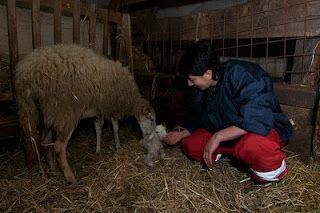 Newborn lamb in Zeri