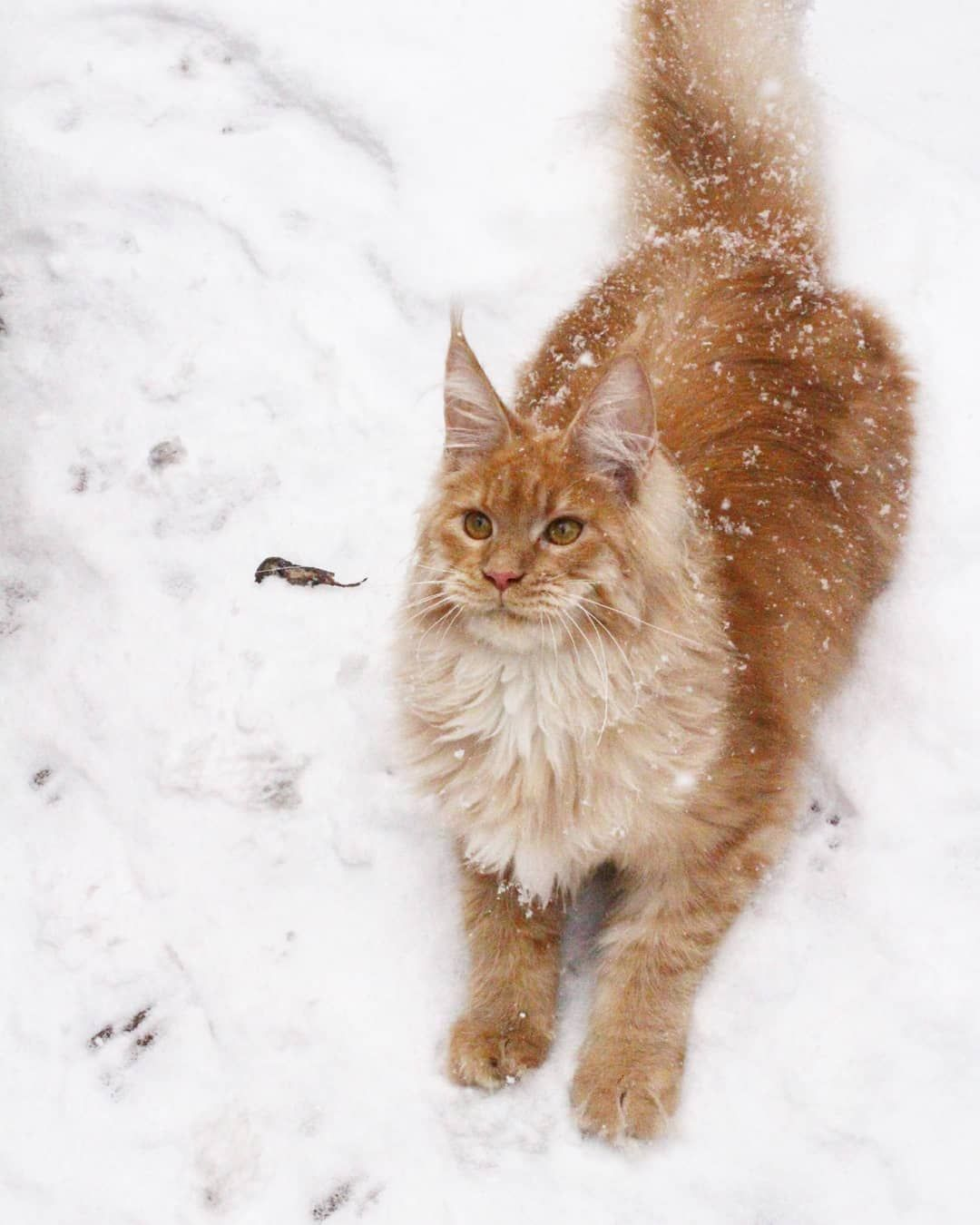 Pin by avrtatiana on maine coon pinterest maine coon siberian cat prettiest cat pretty cats maine coon cats big cats adorable animals merida random things kittens geenschuldenfo Images