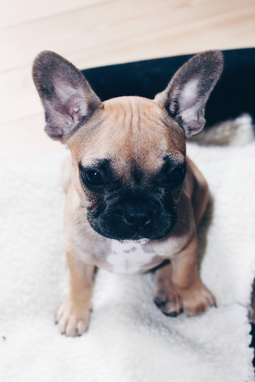 Hunde Facts Zur Franzosischen Bulldogge Hundeblogger Aus Osterreich Fawn Frenchie Style Blog Franzosische Bulldogge Bulldogge Franzosische Bulldoggenwelpen