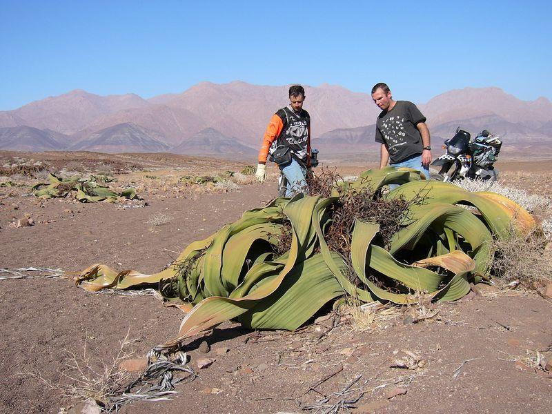 Welwitschia Mirabilis Weird plants, Plants, Desert animals