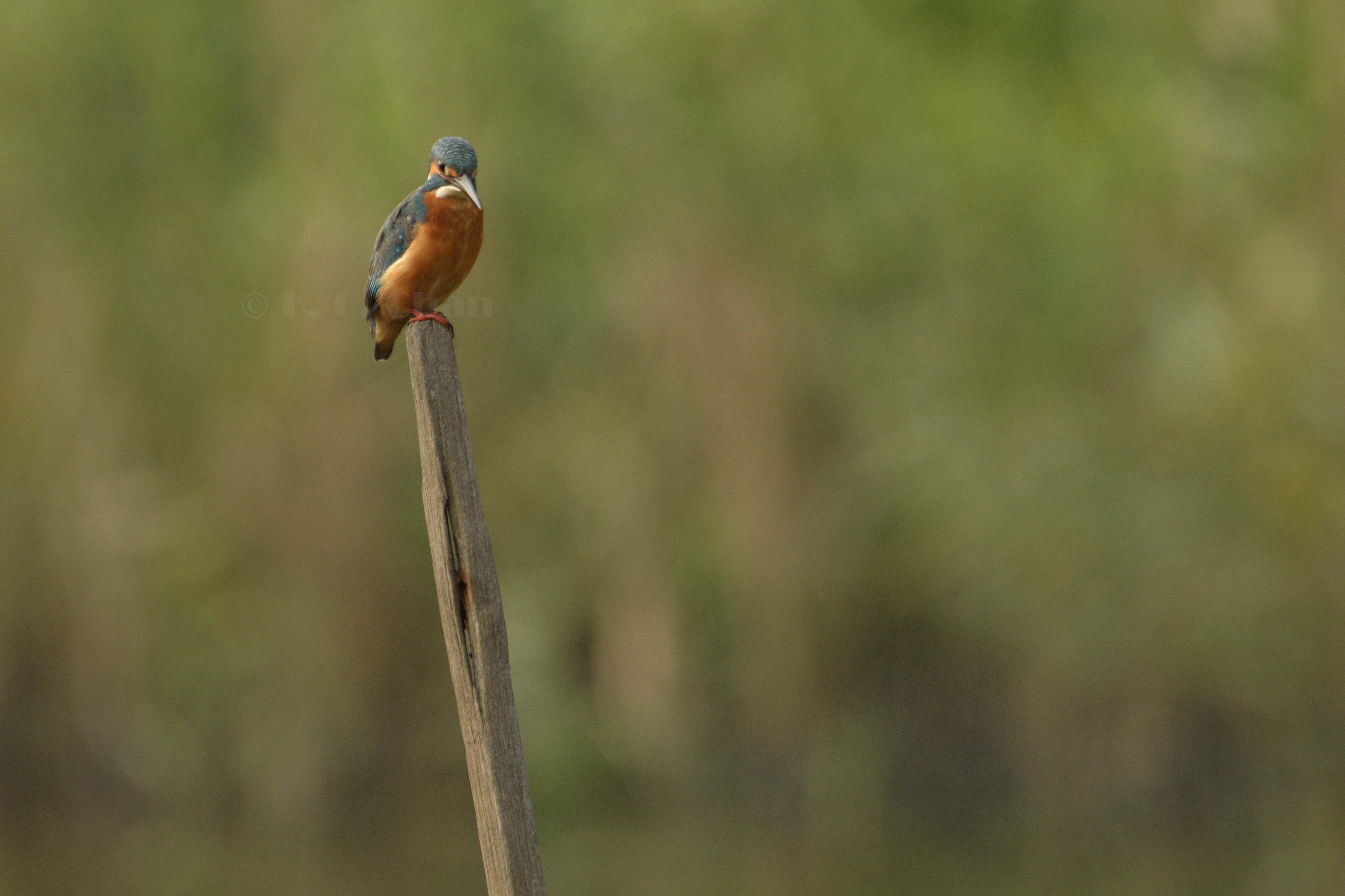 普通翠鳥 Common Kingfisher