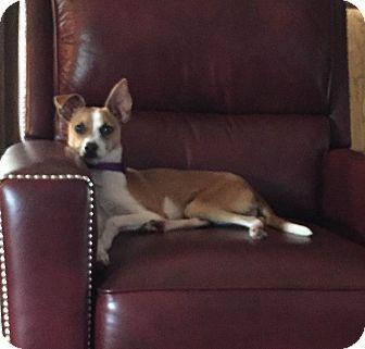 Dallas, TX Basenji/Italian Greyhound Mix. Meet JAXSON, a