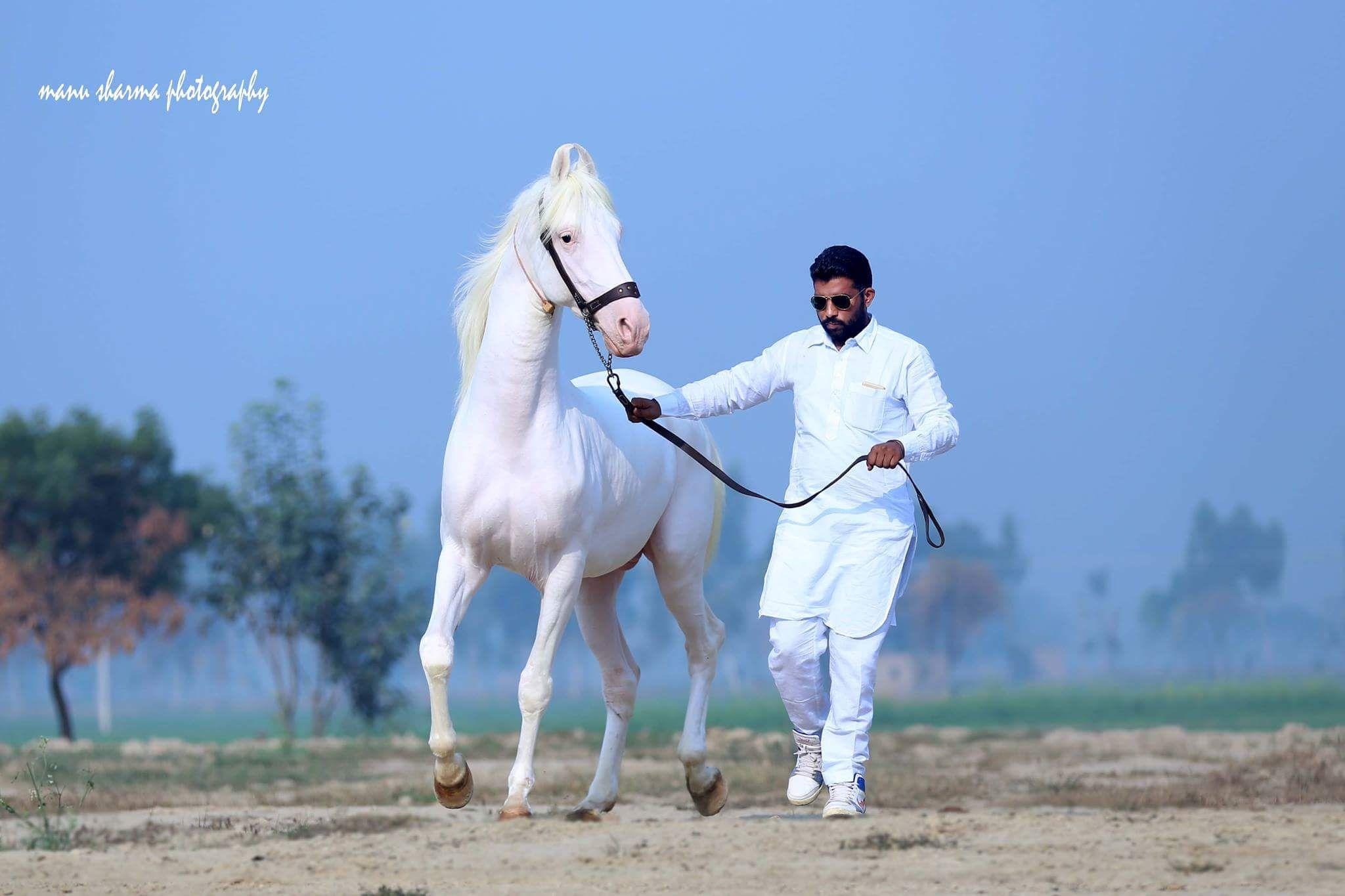 Stallion Prince Owner Sandhu Stud Farm Dod Punjab India C Manu Sharma Photography 2017 Marwari Horses Equine Photographer Animals Wild [ 1365 x 2048 Pixel ]
