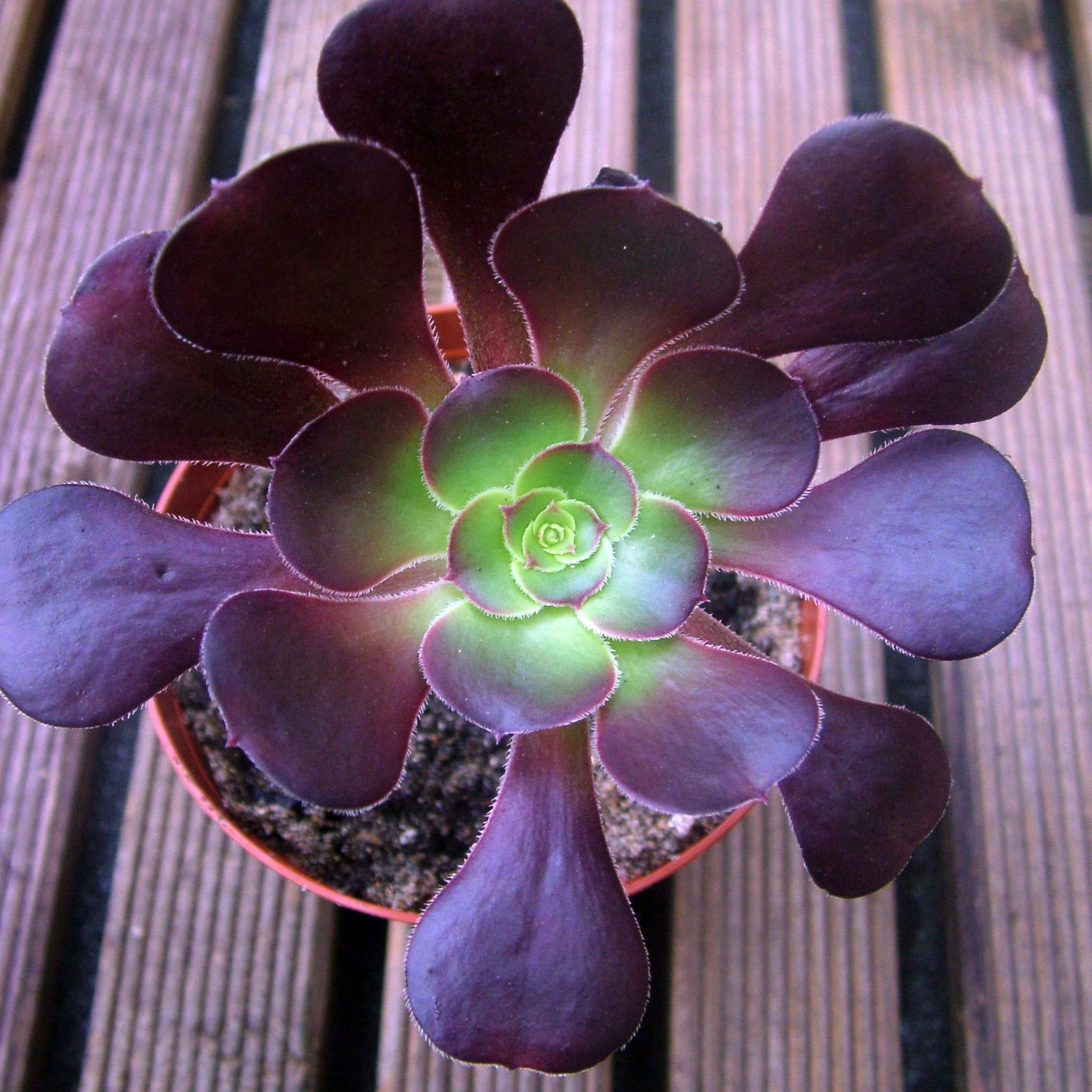 Maroon Garden Ideas: Aeonium 'Plum Purdy'. A Succulent Rosette With Leaves That