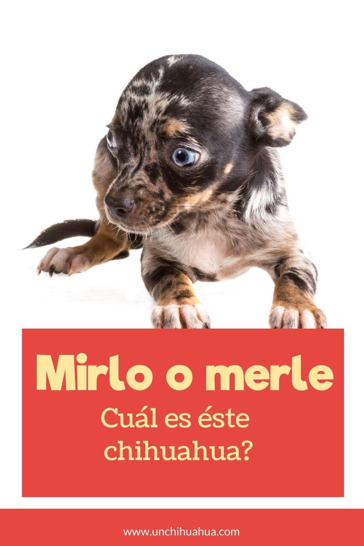 Cuál Es El Chihuahua Merle O Mirlo Chihuahua Merle Chihuahua Mirlo