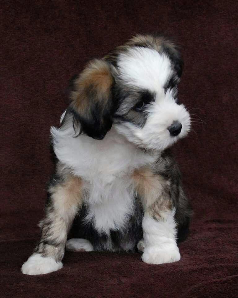 Tibetan terrier pup