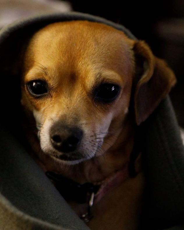Adopt Honey on Dogs, Adoption, Dachshund