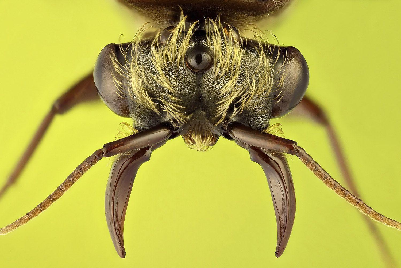 Dorylus sp.