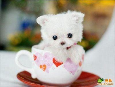 Pups In Cups Shih Tzu Puppy In A Teacup Pupsincups Tumblr Com