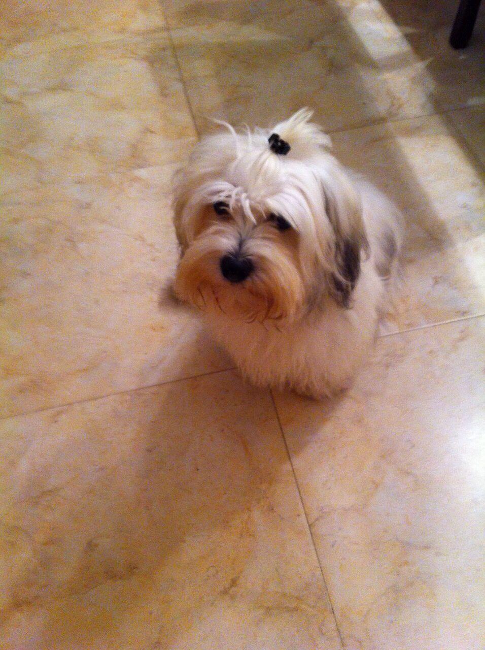 Shyra con pirri ) Havanese dogs, Bichon, Havanese