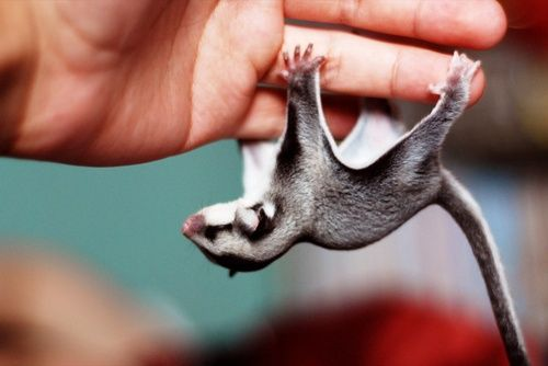 Sugar Glider  A small gliding possum native to Australia and New Zealand. The fly through the air much like a flying squirrel.