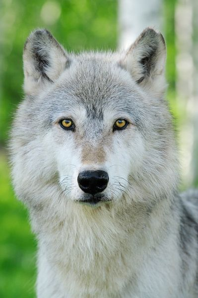 Portrait Of Timber Wolf Minnesota Usa Stock Photos Pictures Photography Wolf Spirit Animal Animals Wild Wolf Time