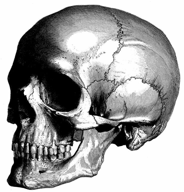 Human Anatomy the human skull Old medical atlas by mapsandposters ...