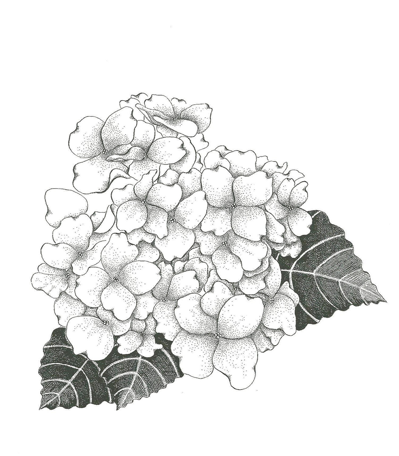 Hydrangea Flower Drawing Drawings Floral Drawing