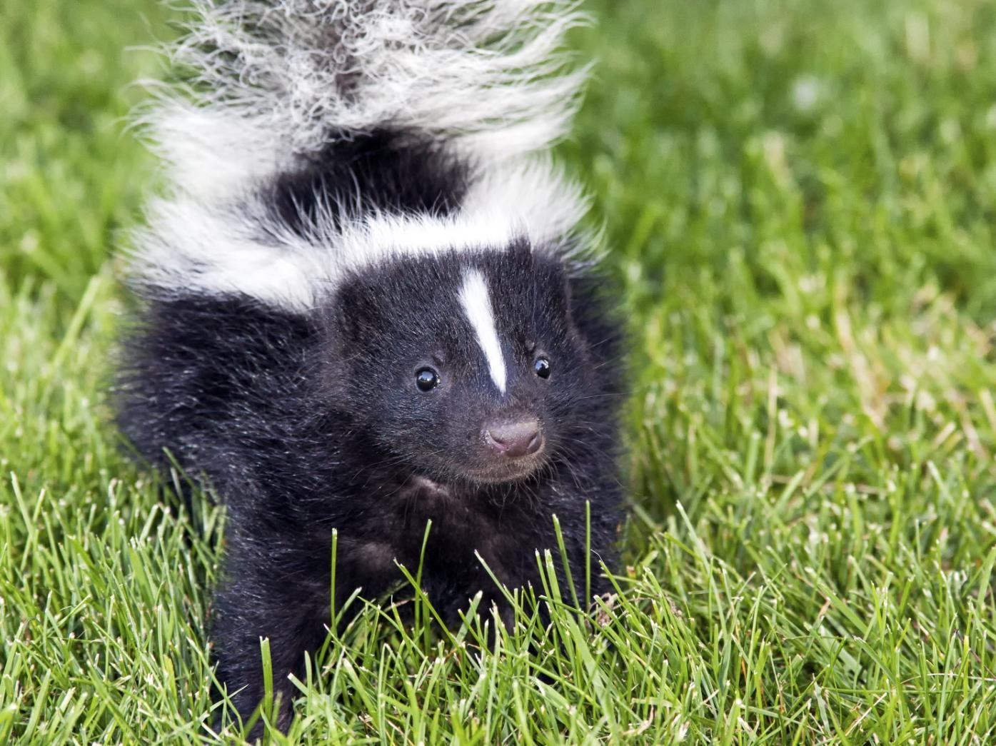 How To Get Rid Of Skunks Hunker Baby Skunks Skunk Repellent Skunk