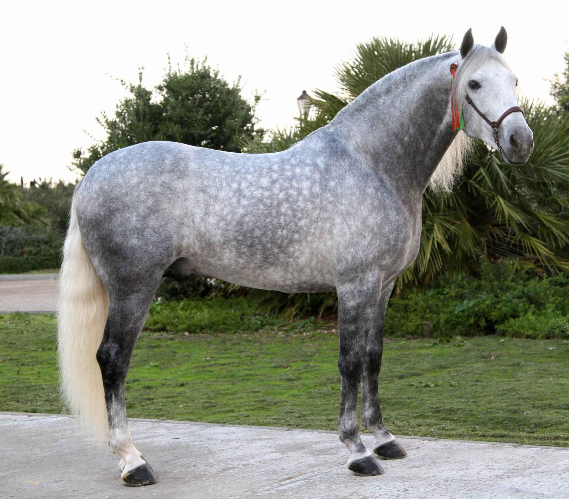 Dapple Gray Horse
