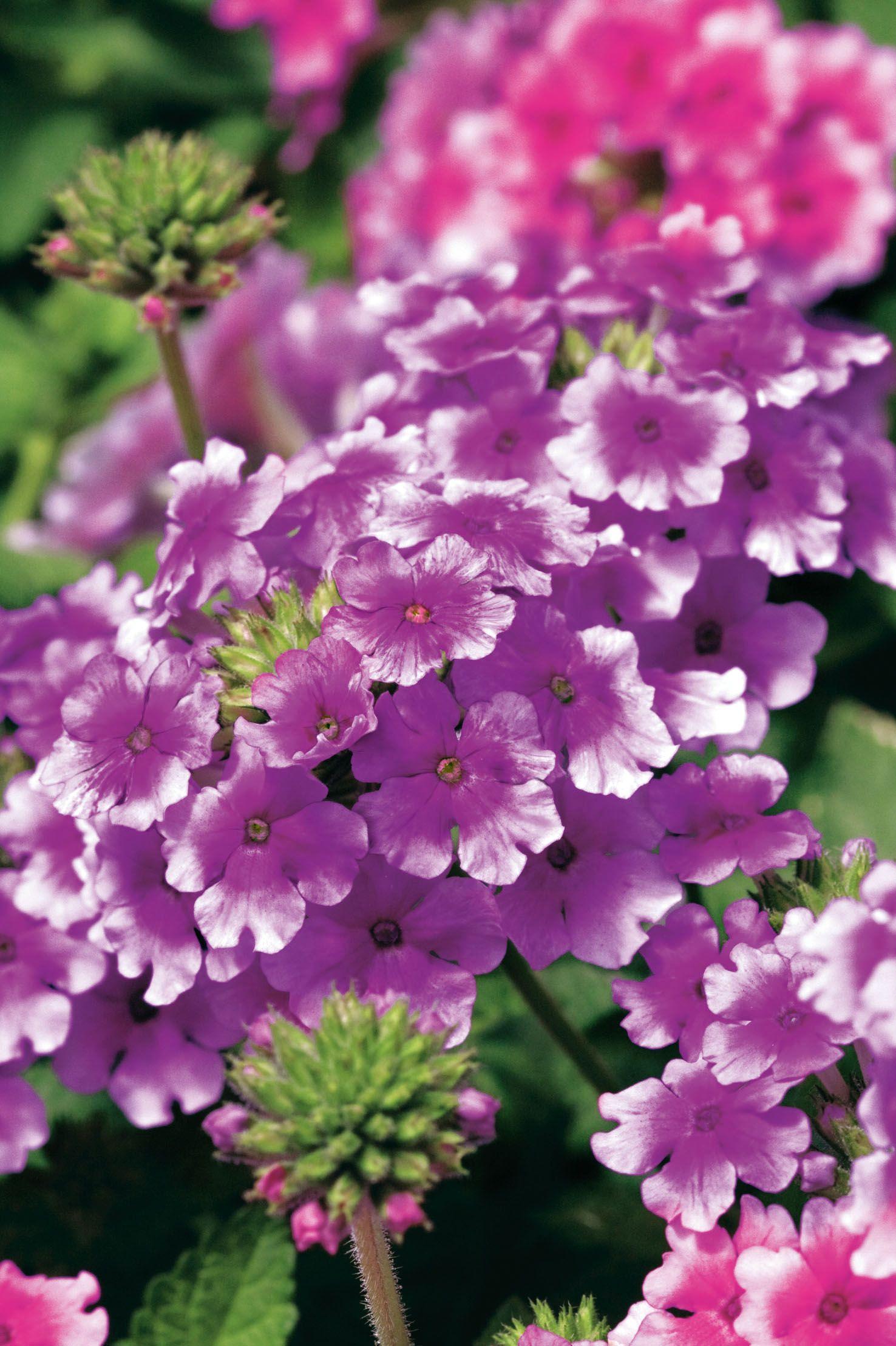 Verbenen sind wegen ihrer überreichen Blüte und sehr langen