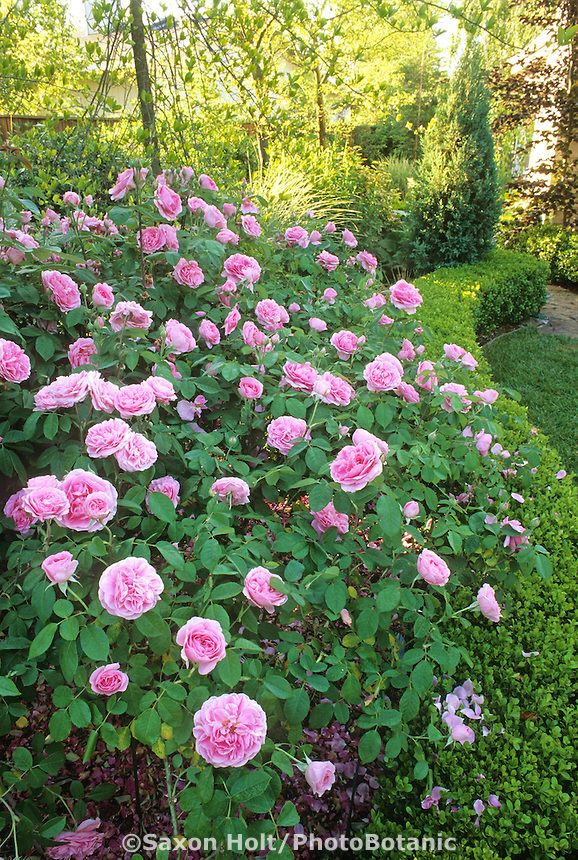 English Rose shrub Gertrude Jekyll trained and pegged in garden