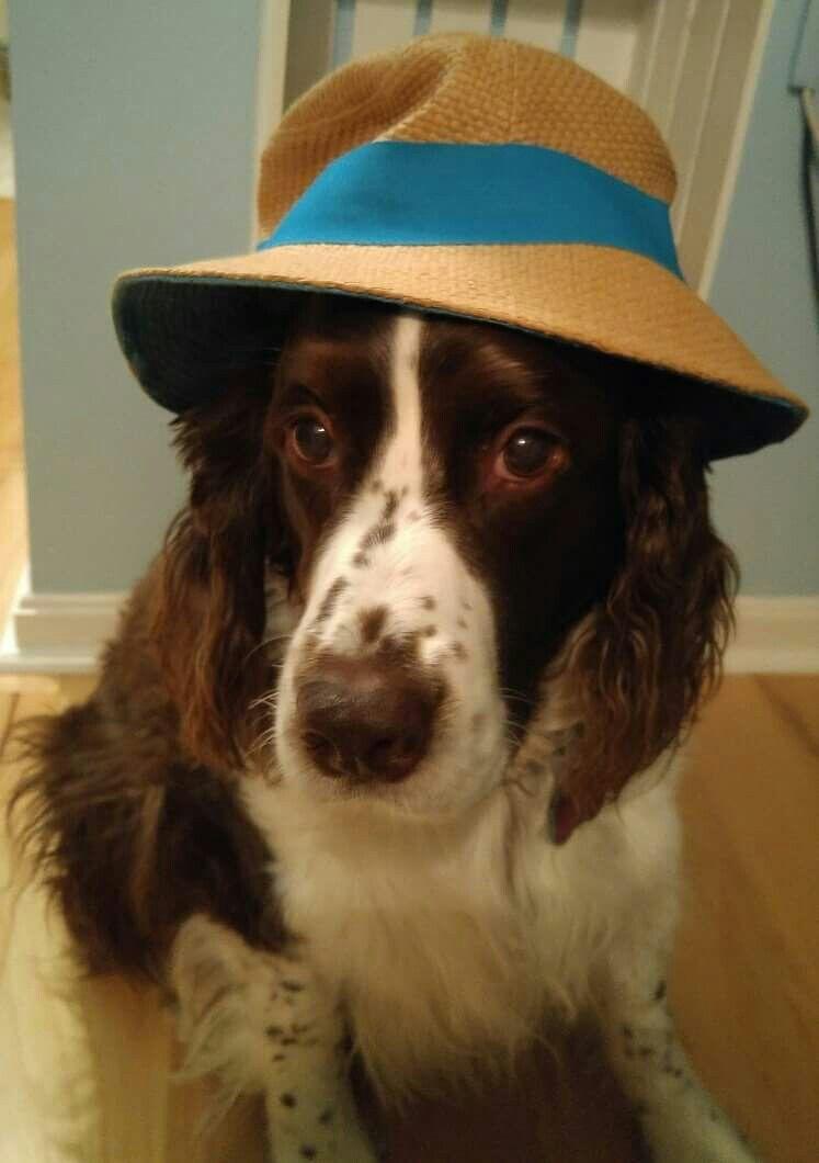 Angel Has Her Beach Hat Ready English Springer Spaniel Beautiful Dogs Springer Spaniel