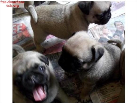 Free Classifieds Ads Org Bull Pug Puppies 320 Pug Puppies