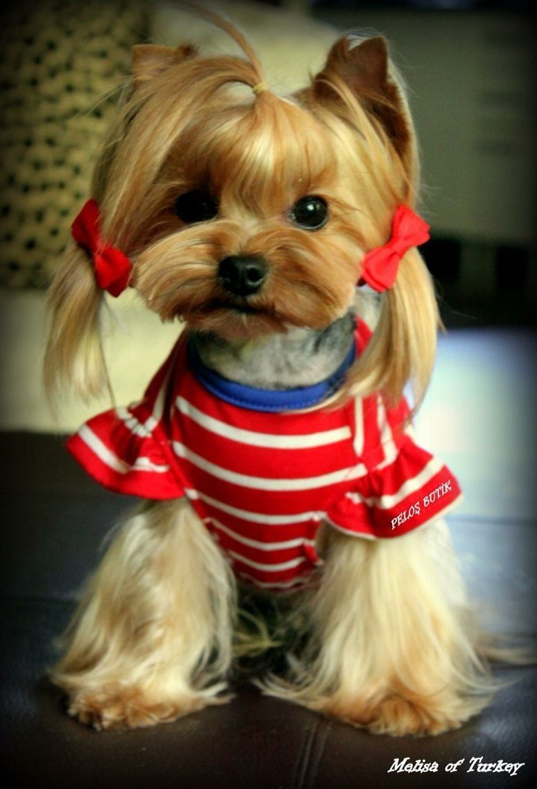 Sunt Gata Pentru O Defilare De Modă Yorkshire Terrier Yorkie Yorkshire Terrier Puppies