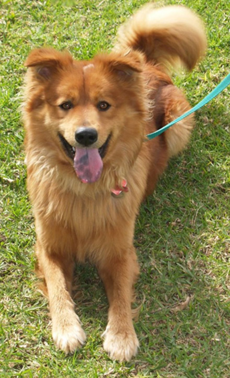 Mr Friendly Chow Chow Irish Setter Mix With Images Chow
