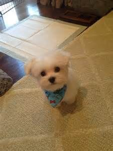 maltese grooming - Search Yahoo Image Search Results