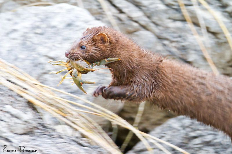 Mink with crayfish