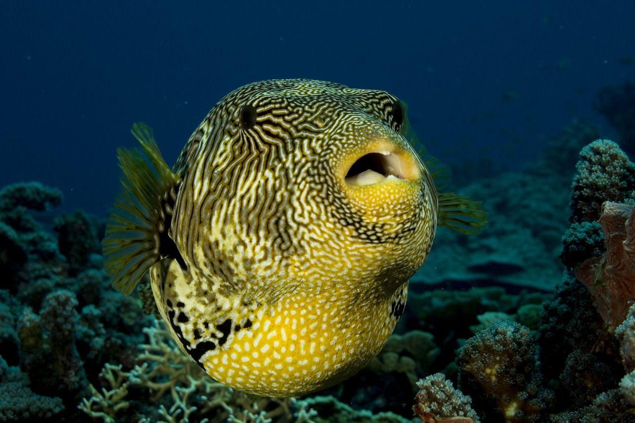 Travel Fish Puffer Puffer Fish Underwater Sea Oce Travel Fish Puffer Puffer Fish Underwater Sea Oce Fish Human Teeth Animals