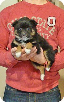 Border Collie Australian Shepherd Mix Puppy For Adoption In New Philadelphia Ohio Cal With Images Australian Shepherd Mix Puppies Puppy Adoption Border Collie