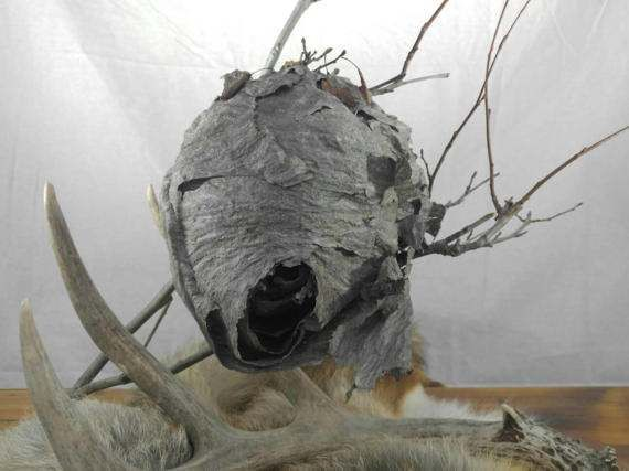 Wasp Nest Hornets Paper Insect