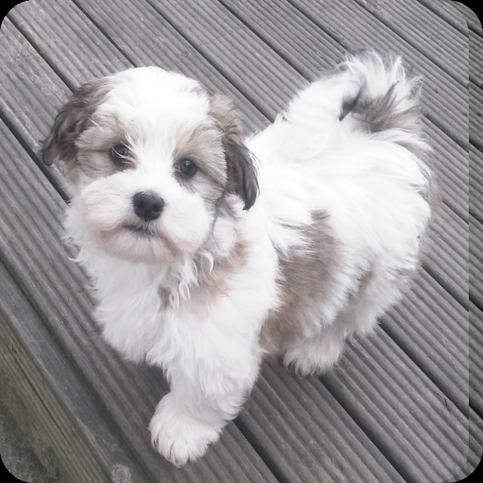Kyi Leo Google Search Hunde Tiere Wolle Kaufen