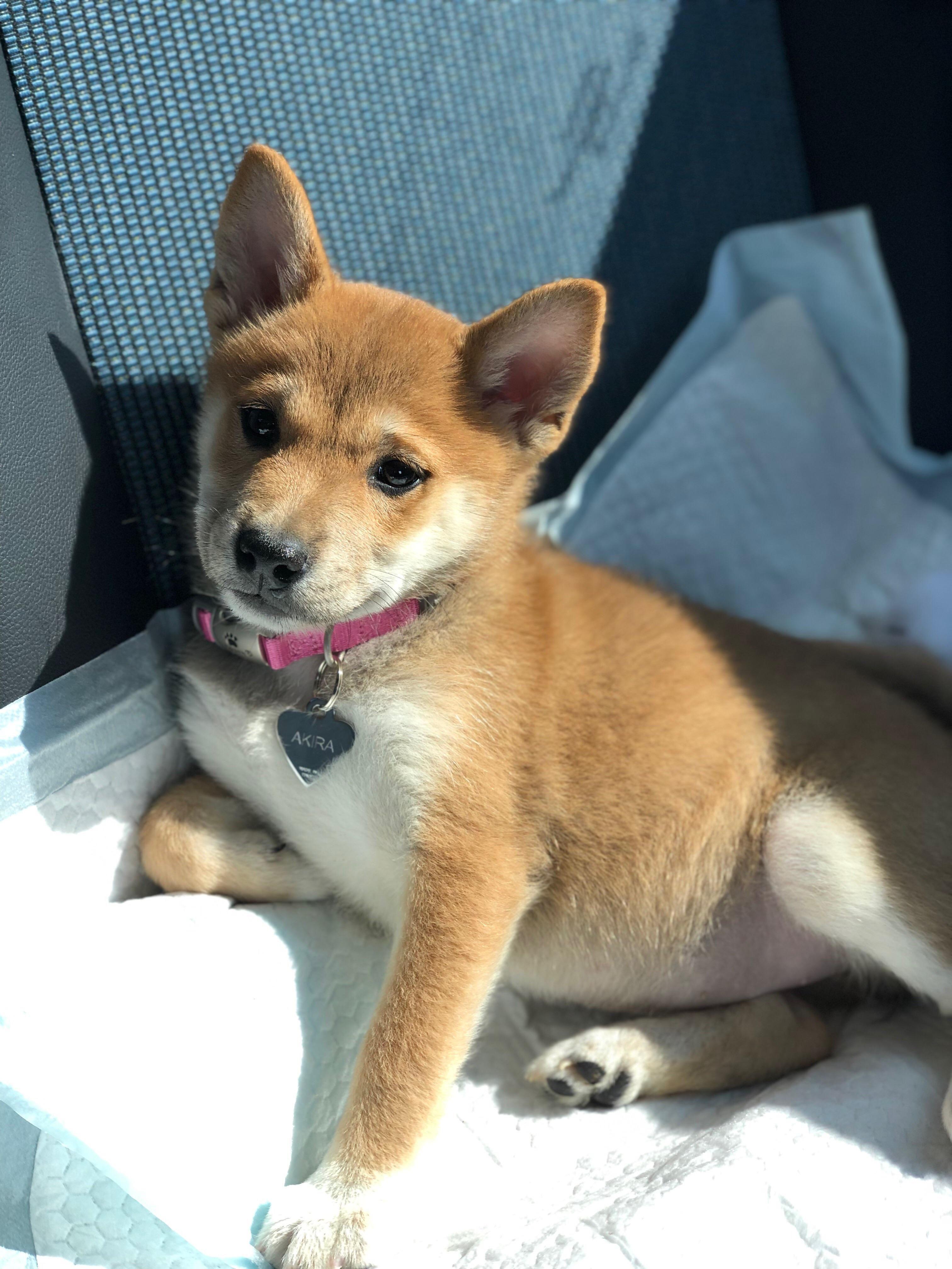 Baby Akira 9 1 2 Weeks Old Shibainu Shibainupuppies Puppies
