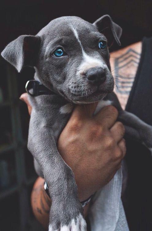 Pitbulls Tumblr Blue Eyed Dog Cute Dogs Cute Animals