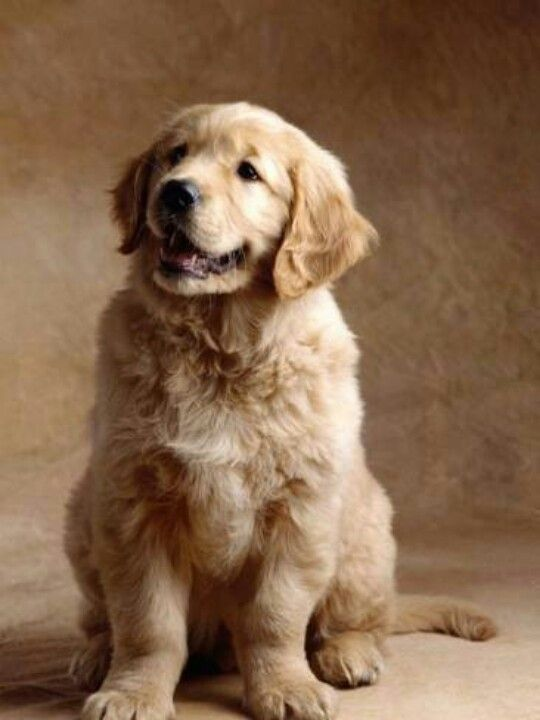 Golden Retriever Puppy 3 Samsung Galaxy S4 Cases Golden Retriever Golden Retriever Puppy Retriever Puppy