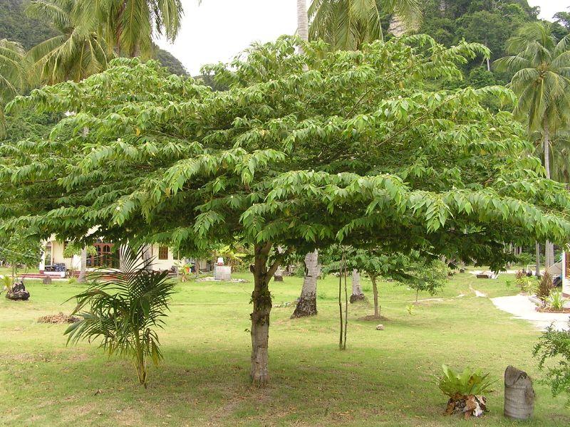 Muntingia Calabura Aka Jamaica Cherry Strawberry Tree Tropical Landscaping Tree Fruit Flowers