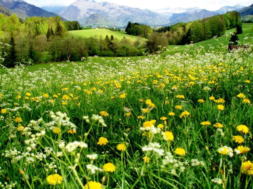 Beautiful Meadows And Mountains Lovely Mountain Meadow Wallpaper