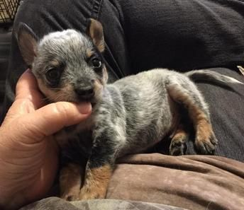 Purebred Australian Cattledogs Aka Blue Heelers In A Smaller Package Our Mini Heeler Puppies Are Lovingly Raised Heeler Puppies Blue Heeler Puppies Puppies