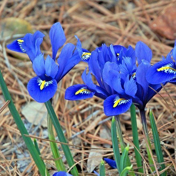 Iris reticulata u0027Harmonyu0027 blaue Blumen Pinterest Gärten