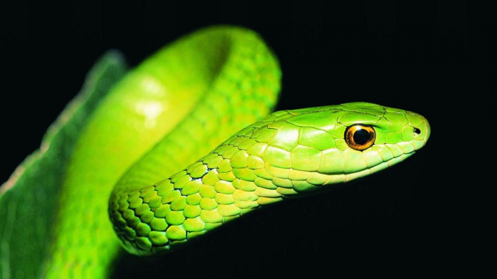 Bamboo Green Snake HD Black Wallpaper Tiere