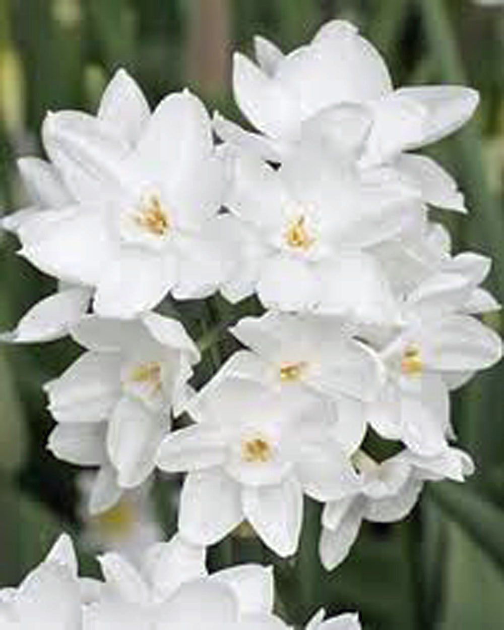Amazon Paperwhite Bulb 5 Pack Daffodil White Perennial