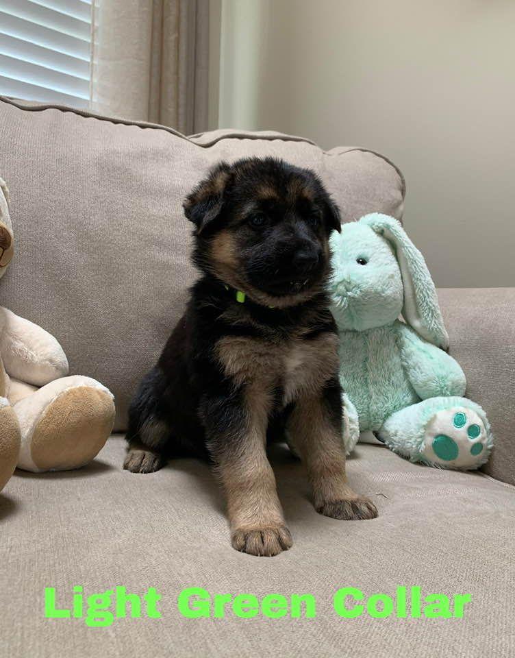 Light Green Akc German Shepherd Pupper For Sale Near