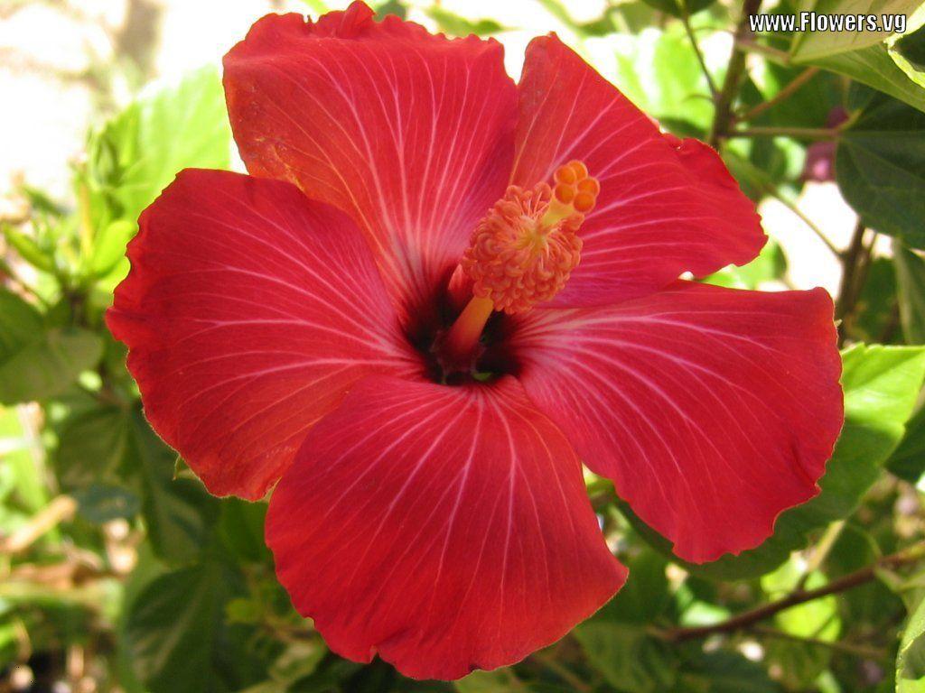 Hibiscus hindu holy plants pinterest ramadan hibiscus and hibiscus hawaii flowershibiscus izmirmasajfo Gallery