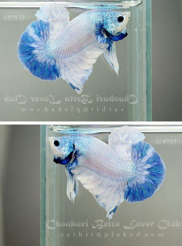 Blue sky halfmoon plakat fancy bettas pinterest for Baby betta fish