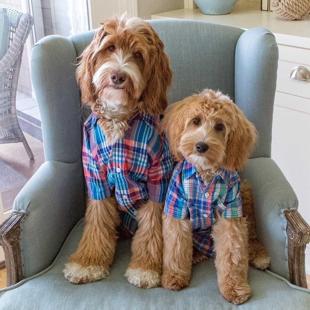 Reagan Lincoln Australian Labradoodle Dogs Doodle Dog Breeds