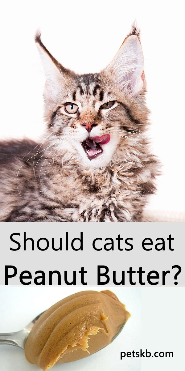 Can cats eat peanut butter? in 2020 Cats, Cat info, Cat diet