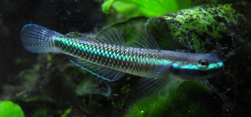 Stiphodon Semoni Cobalt Blue Goby Aquarium Fish Tropical Fish Fish Tank