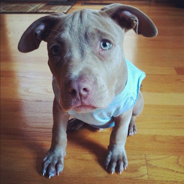 This Pitbull Pup Is Truly A Heartbreaker Puppy Dog Eyes Puppies