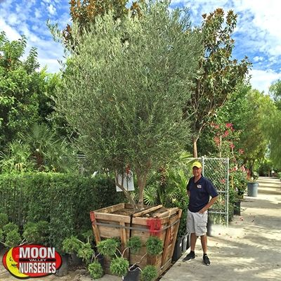 Moon Valley S Online Nursery 1999 A Spec Fruitless Olive Trees Planting 10 20 Tall